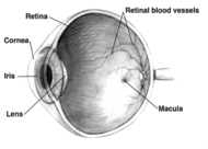 Human eye cross-sectional view grayscale