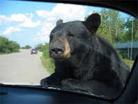 Bear-In-Car 275