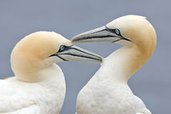 Two Gannets edit 2