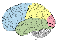 Lobes of the brain NL