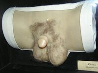 Wax human hermaphrodit genital 1