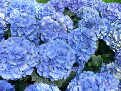Hydrangea macrophylla - Hortensia hydrangea