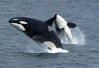 Killerwhales jumping