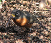 Robin eating a worm in spring