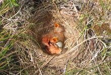 Redwing nest