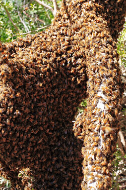 Bee swarm on fallen tree02