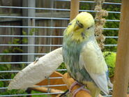 WetBudgie