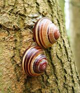 Cepaea nemoralis pair banded shells