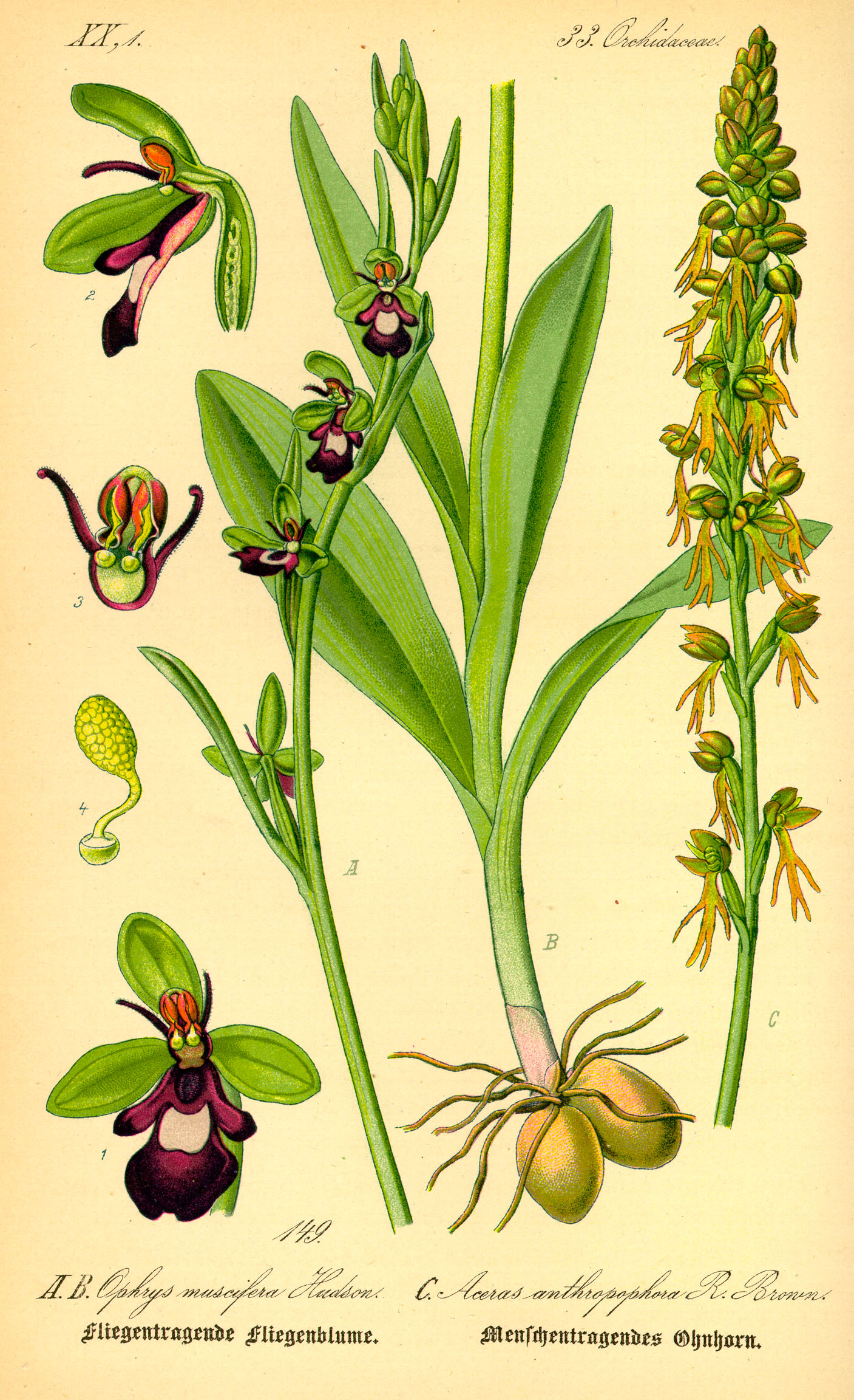 http://images4.wikia.nocookie.net/__cb20071210005219/orchids/en/images/c/c5/Illustration_Ophrys_incectifera0.jpg