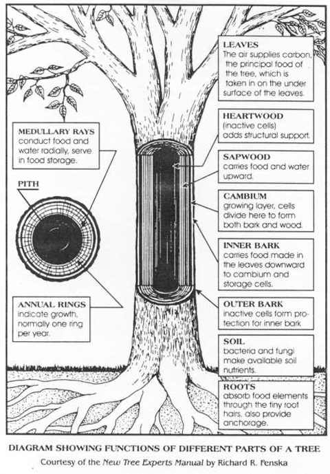 Parts of a tree - Nature Wiki
