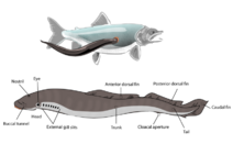 Lamprey illustration side