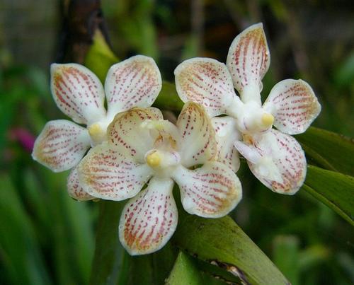 Vanda Jennae Orchids Wiki