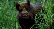 1X16Wildschwein