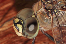 Dragonfly compound eyes02