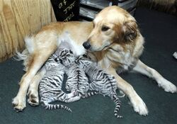 Dog adopts tigers