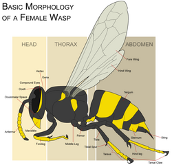 Wasp morphology