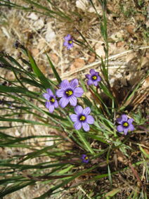 Blue-eyed grass Sisyrinchium bellum