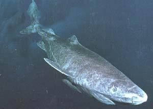 pacific sleeper shark  Sleeper.jpg