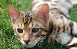 Bengal on grass.jpg