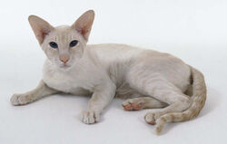 Cream Point Siamese 2