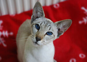 Seal Lynx Point Siamese