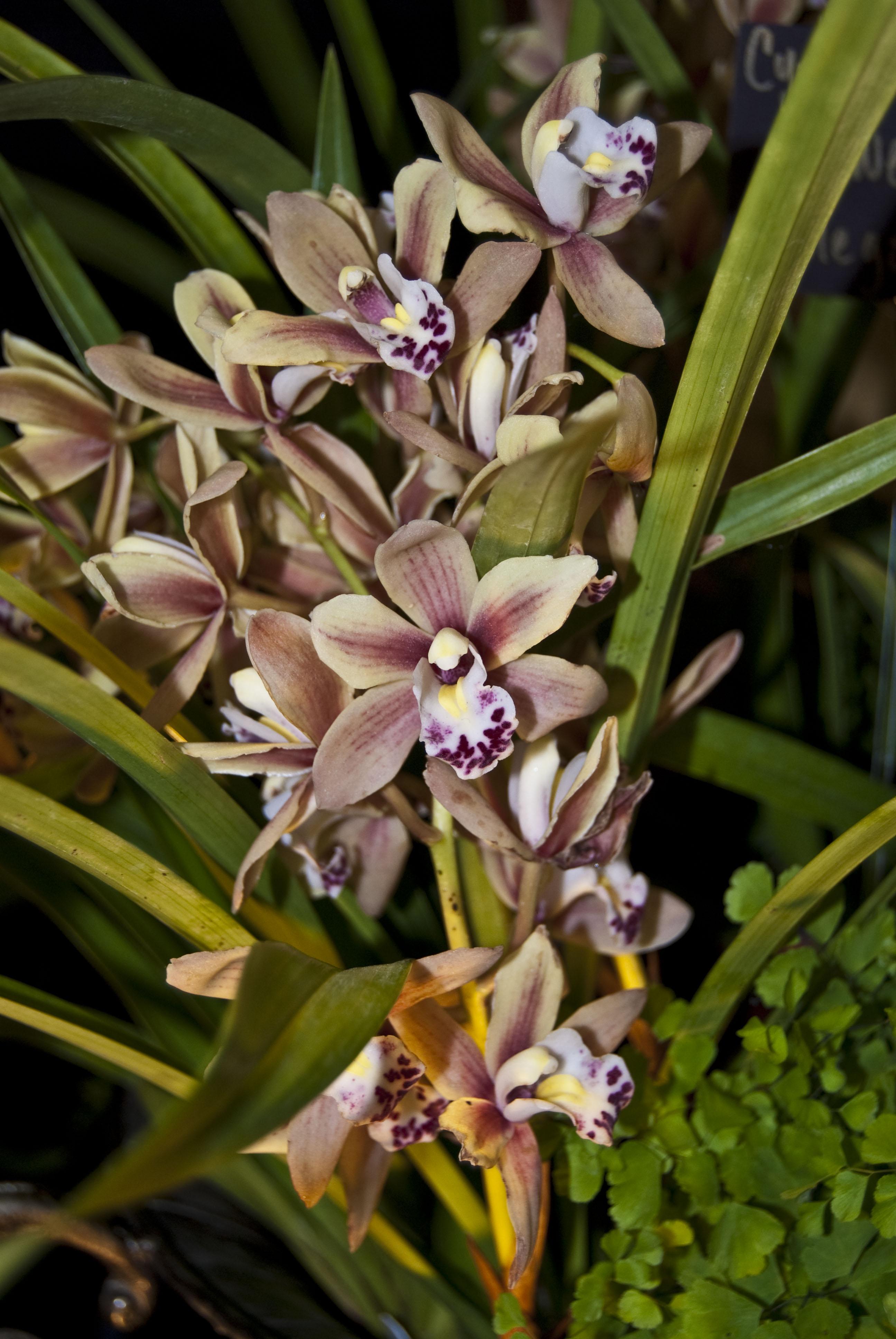 http://images4.wikia.nocookie.net/__cb20100307003707/orchids/en/images/5/53/Cymbidium_Sweetheart_%27Elegance%27_.jpg
