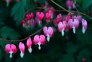Define-bleeding-heart-1