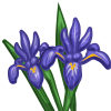 Iris-icon