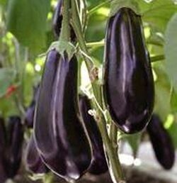 Aubergine.2-1-