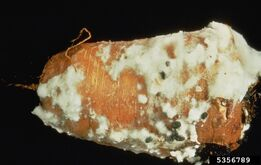 Carrot Sclerotinia Rot