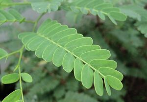 Tamarind leaf