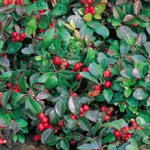 Herbs of the clans Wintergreen