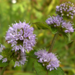 Herbs of the clans Watermint