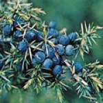 Juniper Berries.jpg