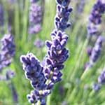 Herbs of the clans Lavender