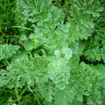Herbs of the clans Ragwort