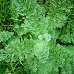 A healers herbs Ragwort