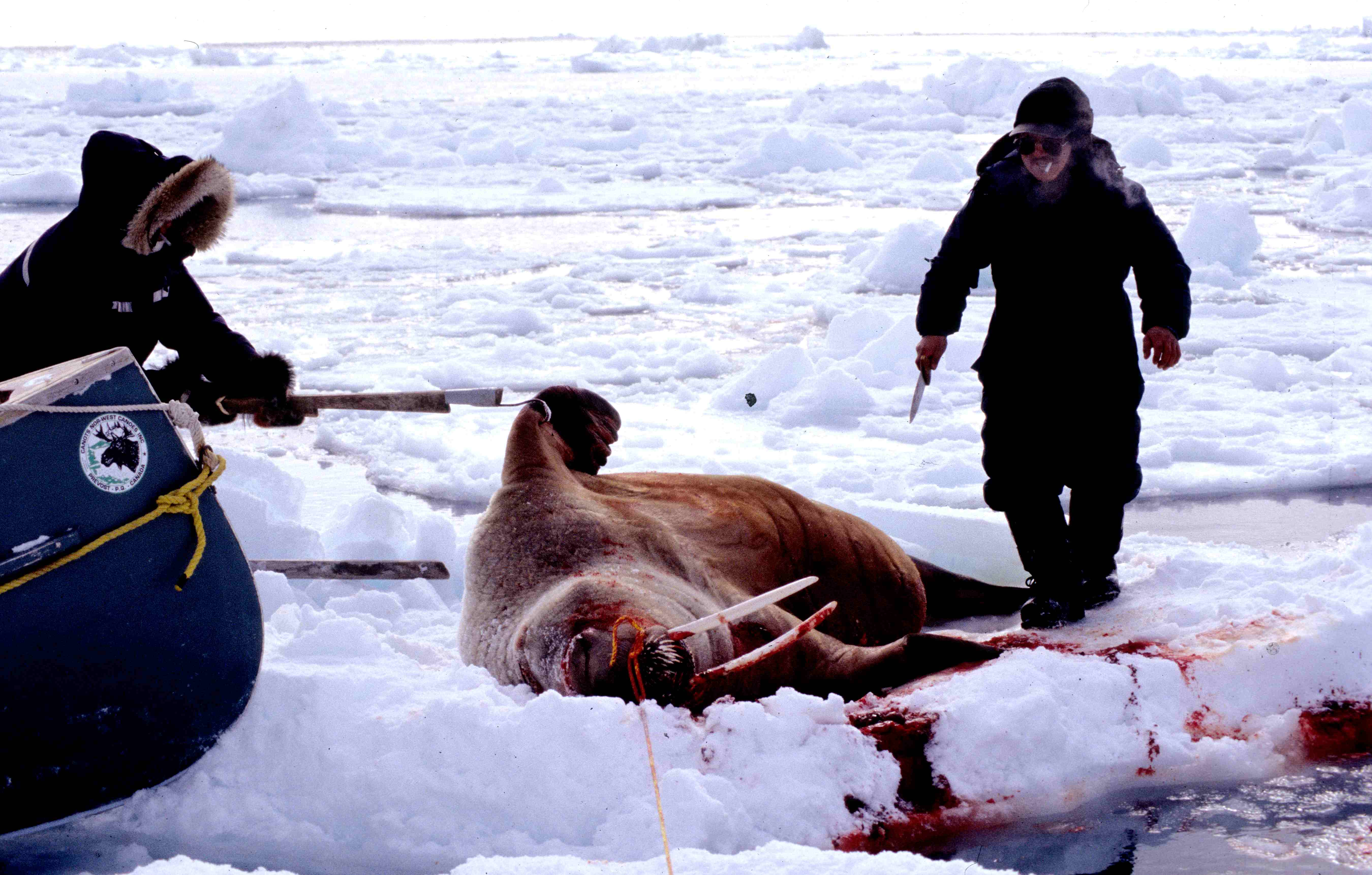 Facts About Inuit Food http://paleolithic.wikia.com/wiki/File:Inuit_hunting_walrus_att.jpg