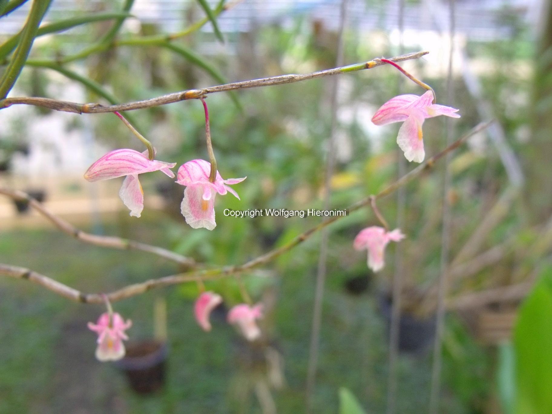 http://images4.wikia.nocookie.net/__cb20111102043630/orchids/en/images/1/13/Dendrobium_acerosum01.jpg