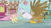 Gilda roaring at Fluttershy S1E5