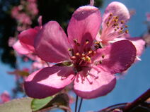 Crab apple flower-1-