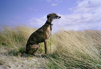 SpanishGreyhound