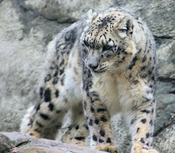 Snow Leopard standing