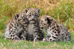 Snow Leoprad Cubs
