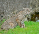 Bobcat (3.5e Monster)