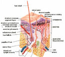 Cutis (anatomy)