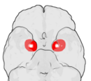 Amygdala