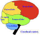 Frontal lobe