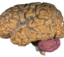 Cerebellum