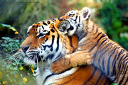 180px-Warning%21%21%21...Tiger_in_training...-O%29%29.jpg